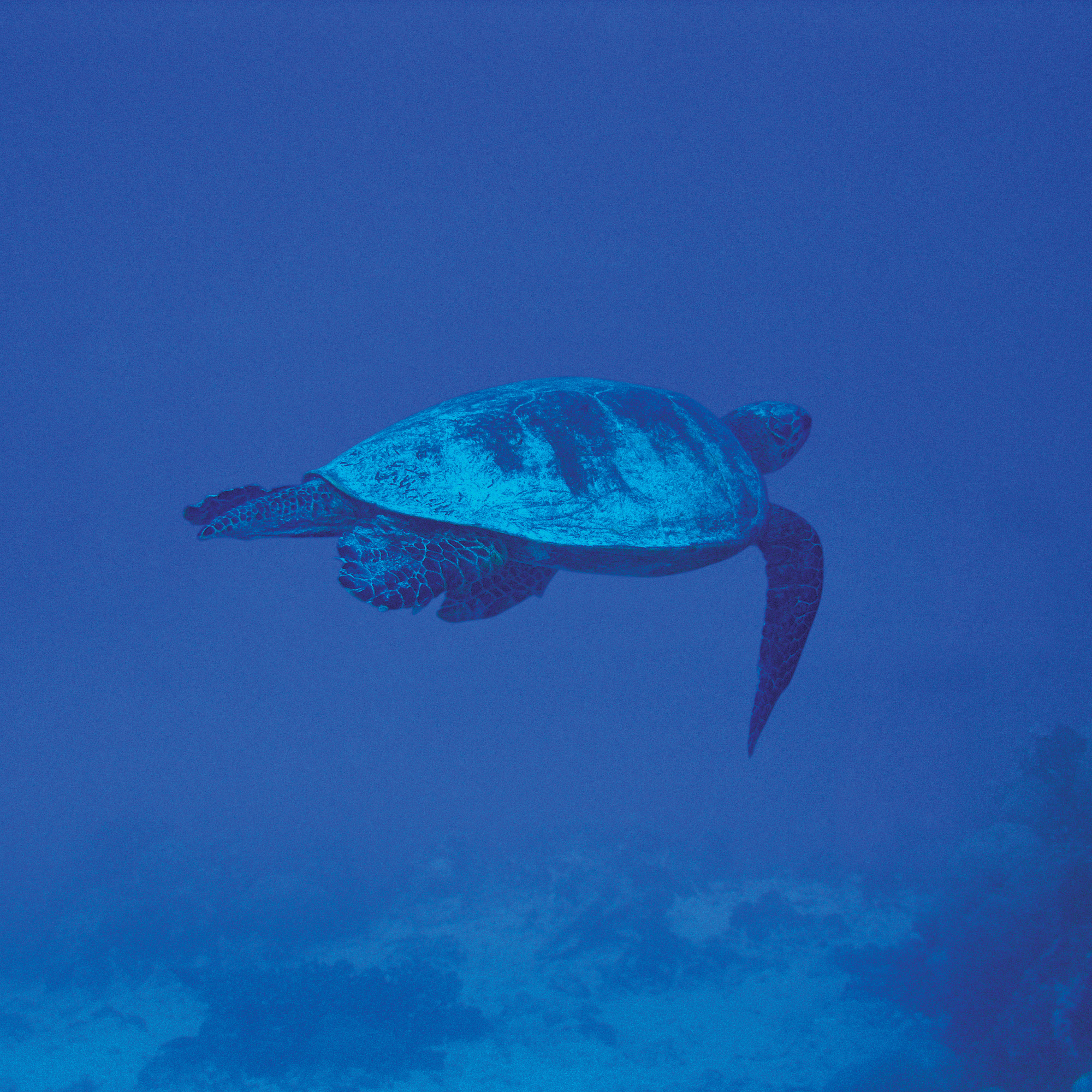 turtle swimming in blue water