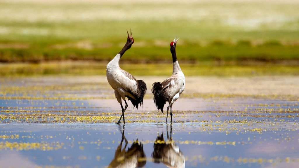 two black-neck cranes with heads in the air