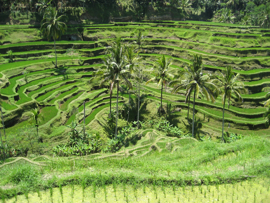 Terraced rice fields and palm trees