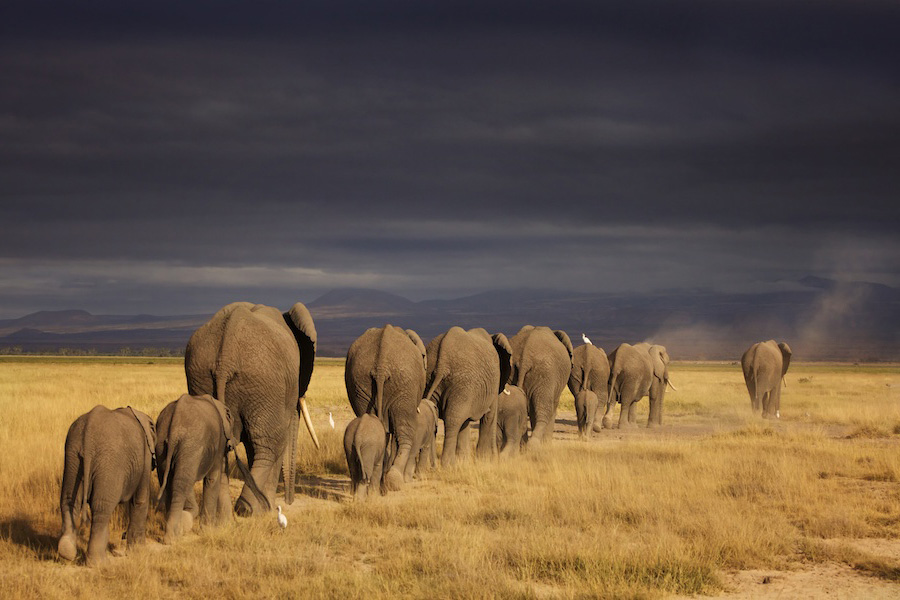 long line of grey elephants walking away from the camera