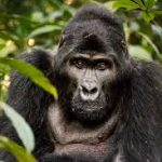 Black gorilla looking straight at camera, surrounded by green foliage
