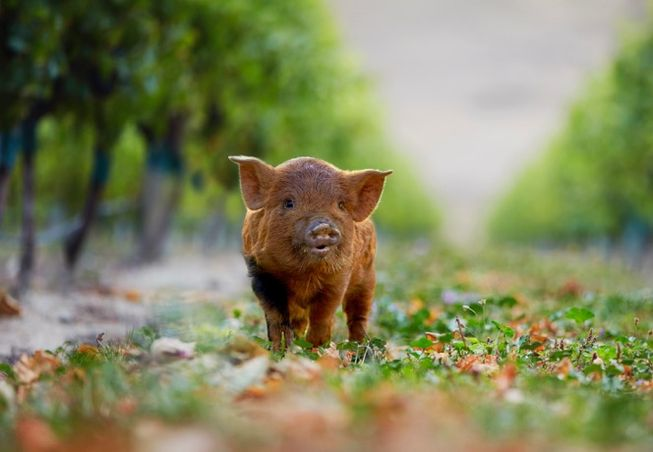 mini brown pig in a vineyard