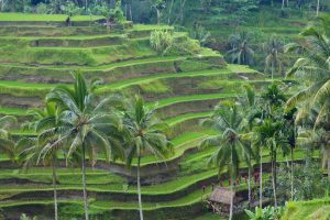 green rice terraces, palm trees